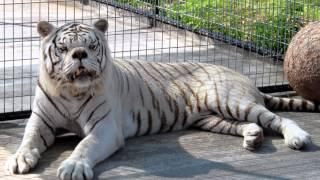 เสือขาวมีอาการดาวน์ซินโดรม