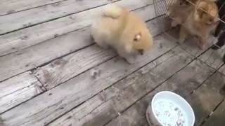 Ambrosia the Pomeranian Puppy