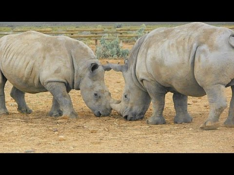 Meet Bundu and Lavinia, the Rhino orphans in Inverdoorn (South Africa)