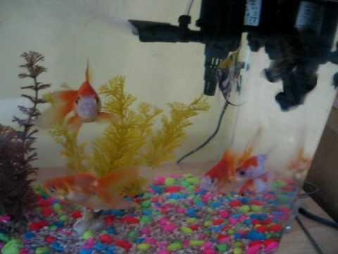 cute goldfish cartoon. new vedio of my goldfish its
