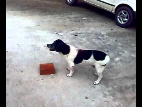 cachorro tarado de Boca da mata AL