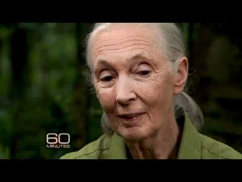 "Jane Goodall brings Lara Logan and ""60 Minutes"" cameras back to the forests of Tanzania, where she b"