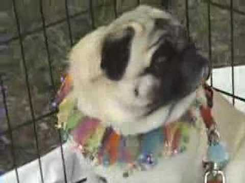 Pugs And Donuts Video