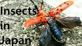 Insects in Japan!