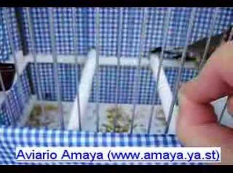 Aviarioamaya - Jilguero 04