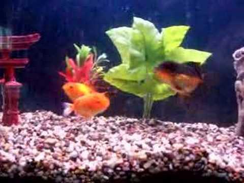fantail goldfish eggs pictures. goldfish fantail oranda
