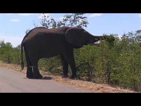 Arılar Marula ağaçlarını fillerden koruyor - science