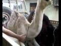 ticklish camel