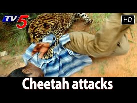 Cheetah attacks on Tirumala footpath points -  TV5
