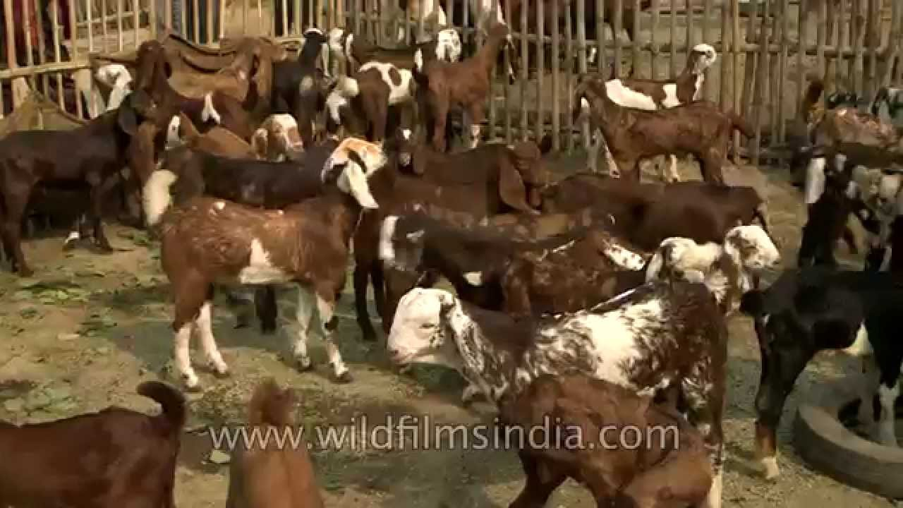 How to Buy Cattle