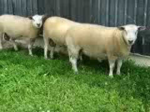 Texel Yearling Rams