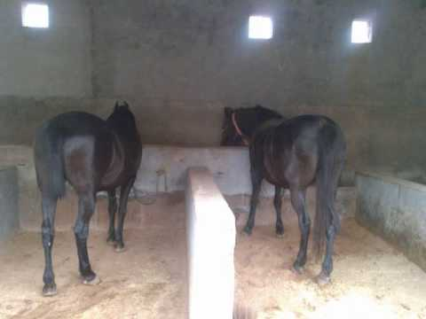 horse in punjab (sidhu & curry farm ) call 9876991447