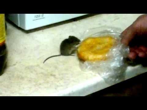 Прикол. реально дикая мышь.Не хомяк 100%.юмор.смешно.