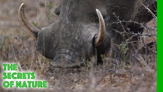 Warthogs - Africa's Wild Wonders - The Secrets of Nature
