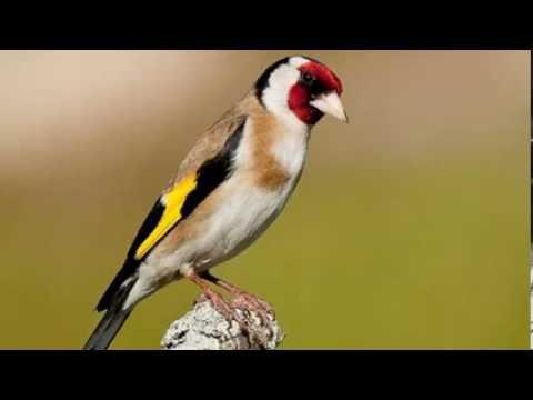 Chant de chardonneret / Goldfinch song  Parva 2014