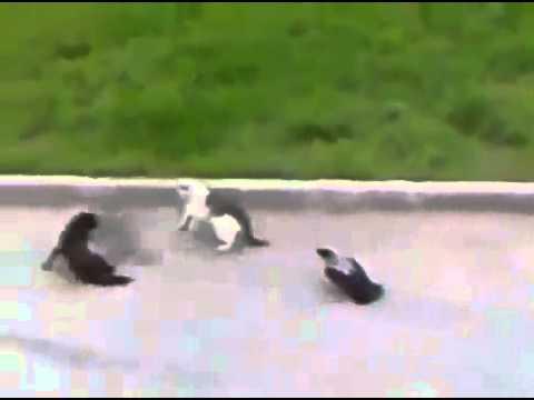 Вороны против котов! Просто улетное видео!