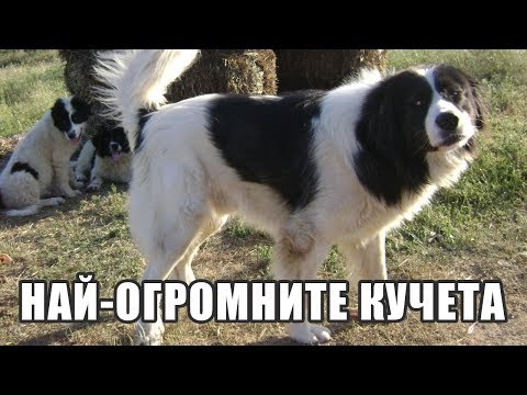 Top 10 най-огромните породи кучета на света