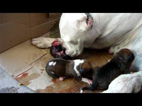 el nacimiento de un cachorro boxer segunda camada de la sailor(no apto para sensibles)