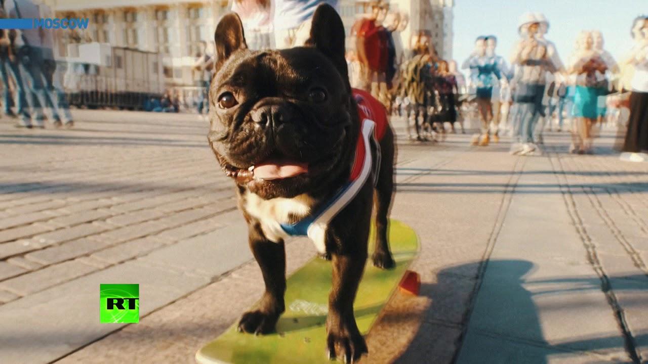 France or Croatia? Nord the skateboarding bulldog predicts World Cup winner