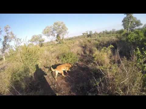 Belgian Malinois Kira on an anti poaching tracking training exercise