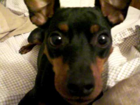 My Min Pin Acting Crazy For The Camera Youtube