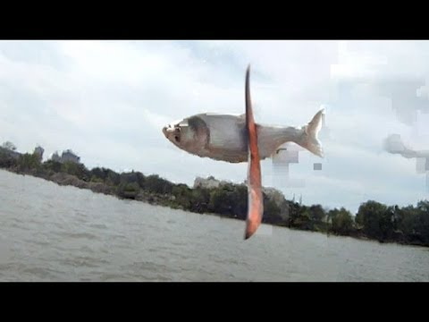 Kill of the Week - Boomerang vs. Asian Carp