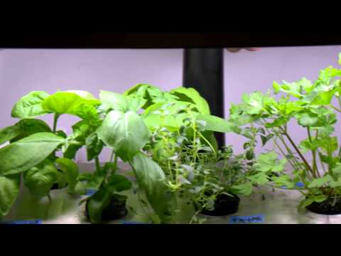 Aerogarden Herbs - 30 days from Seed using DIY Seed Grow Pods
