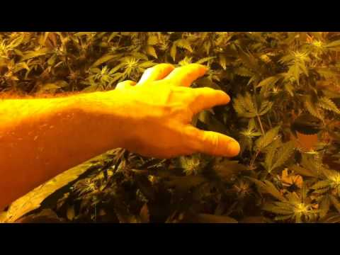 Week 3 - Indoor Weed Grow 2013 - SCROG Day 21