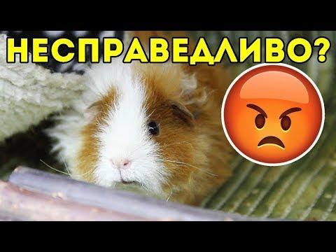 Почему РАЗДЕЛИЛА свинок именно так? ГДЕ СПРАВЕДЛИВОСТЬ / ПОДЕЛИЛА СТЕЛЛАЖ