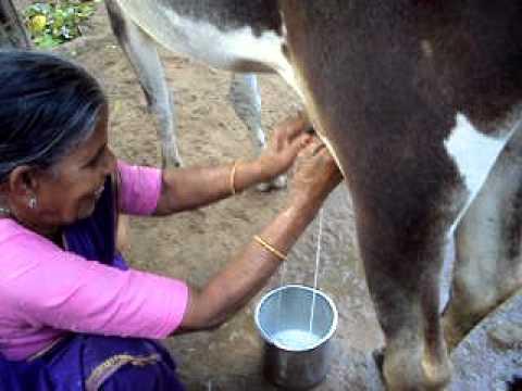 milking by hand in Tamil nadu - COW GIRL part 2 - Jelari Naveen.AVI