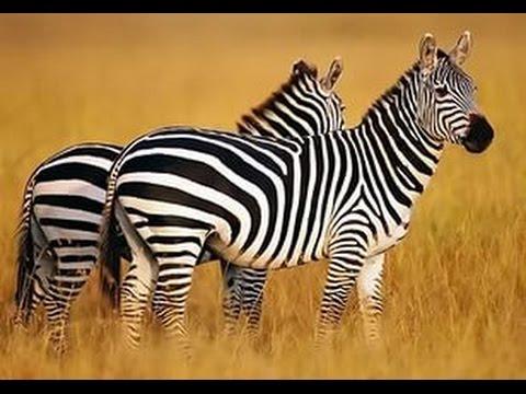 Нарисовать зебру видео