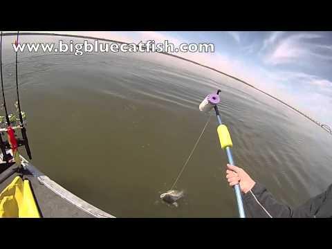 Jug line catching a blue catfish on redneck bait soap for Jug line fishing