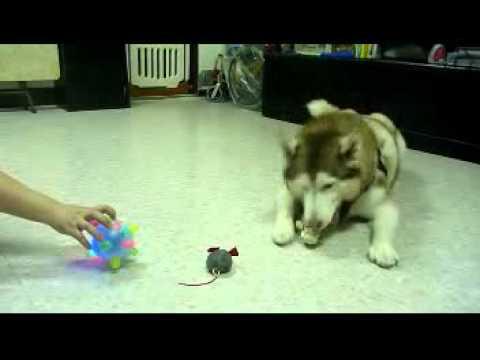 假老鼠效果不彰,再換唱歌球。