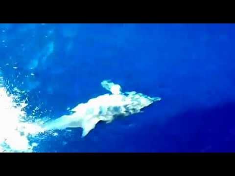 Lebanese Dolphin (Tursiops truncatus),Cetacean's expedition of CNRS,CANA boat,North-Lebanon,Tripoli