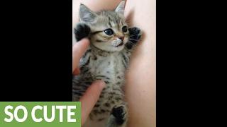 Cuteness overload: Tiny kitten loves to play