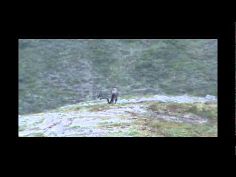 Three grizzly bears and Alaskan hunter taking a caribou in ANWAR with .44mag pistol