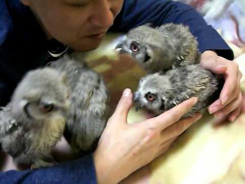 【おとうちゃんが好きぃアフリカオオコノハズク】 Cute owls