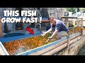 HOW I GROW MY FISH SUPER FAST This Is UNBELIEVABLE mp3