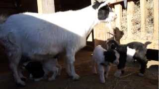 Fainting Goat Babies, Just Born Today!