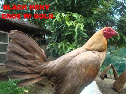 Gold Coast Game Farm ( imported henys )