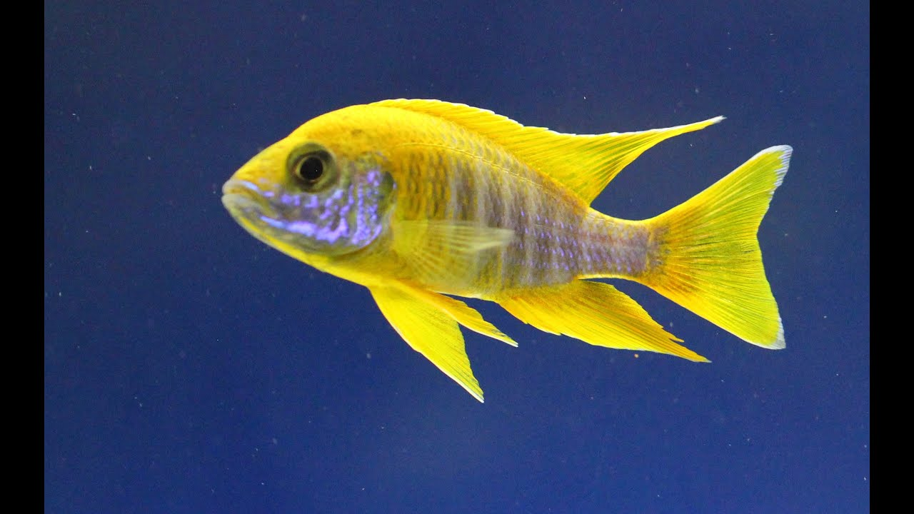 lemon jake peacock cichlid - photo #15