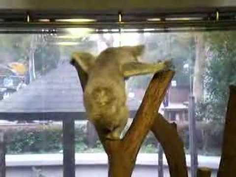 ヨシムと佐々木さんで金沢動物園のコアラ【1】 Koala in Kanazawa Zoo