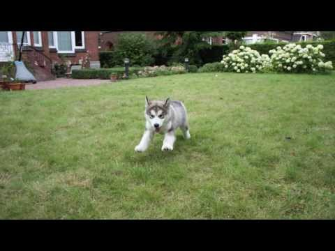 Alaskan Malamute growing process