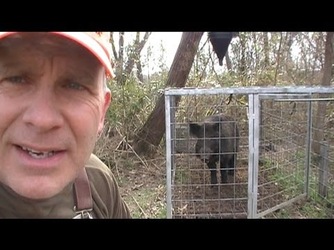 Wild Hog Trapping for Dummies