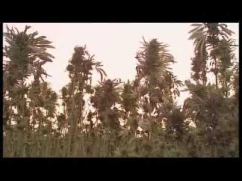 Afghanistan cannabis production - 3 December 2007