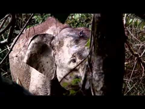 Saving the endangered species of Borneo: Pygmy Elephants