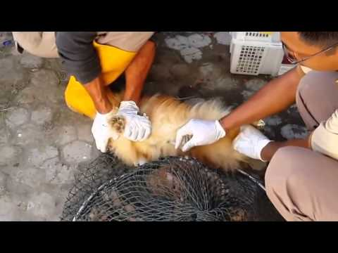 ✦BRUTAL CULLING OF SMUGGLED DOGS IN BALI✦