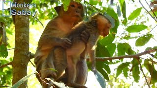 What happen to Monkey Brutus JR#1270