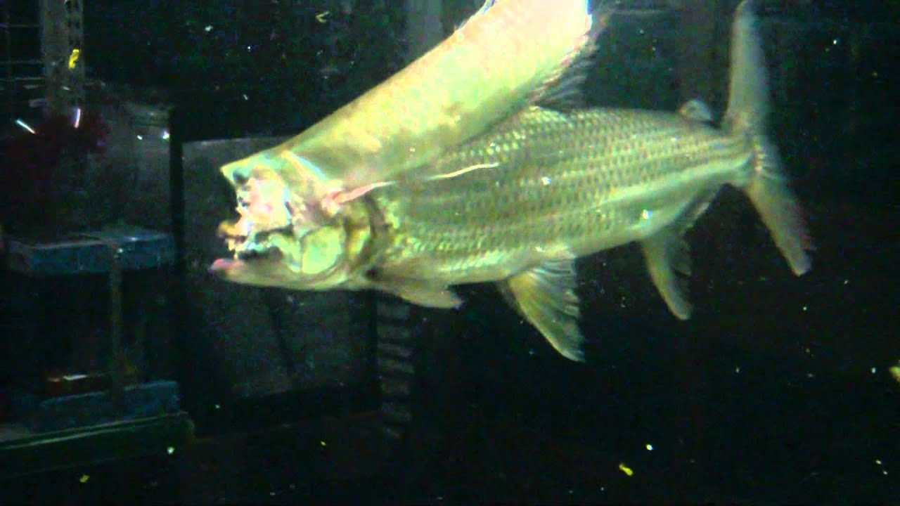 Goliath tiger fish eat silver arowana - YouTube