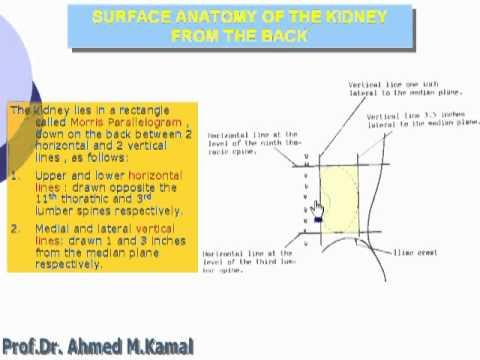 Anatomy Abdomen Kidney 56 Surface Anatomy of Kidney